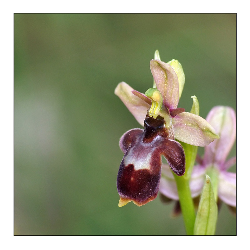 Ophrys insectifera x scolopax (x nelsonii) Ophrys16