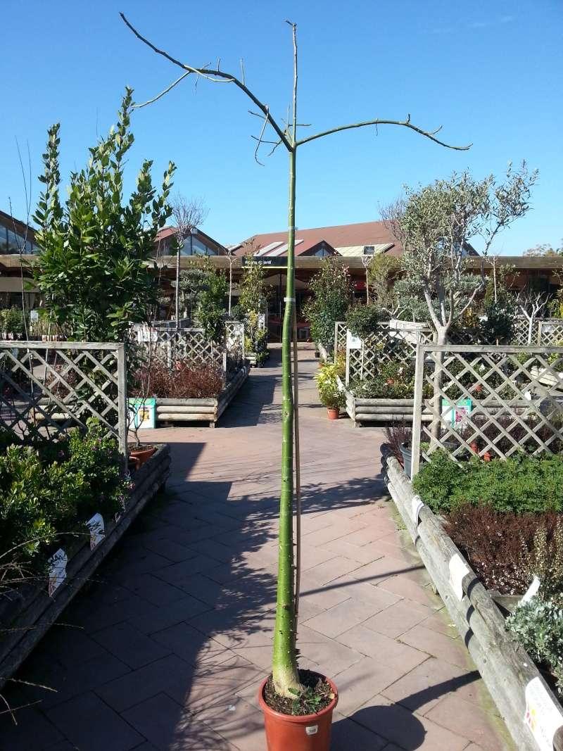 Chorisia speciosa bonsai 20150312