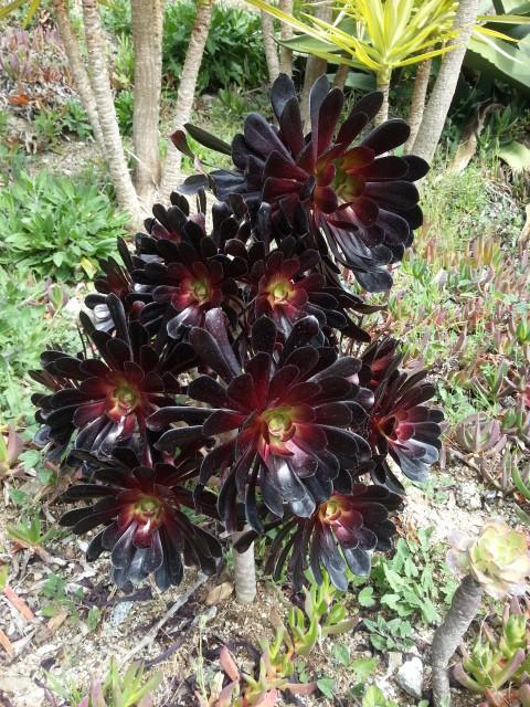 Aeonium ' Schwarzkopf ' plus noir du tout 20150318