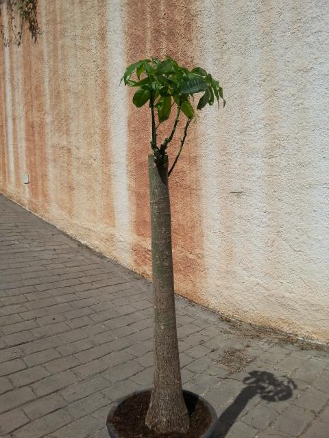 Pachira aquatica en arbre 20150412
