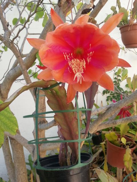 Epiphyllum Appassionata 20150516