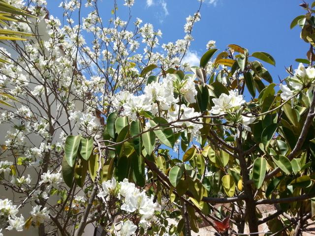 Bauhinia variegata alba 20150520