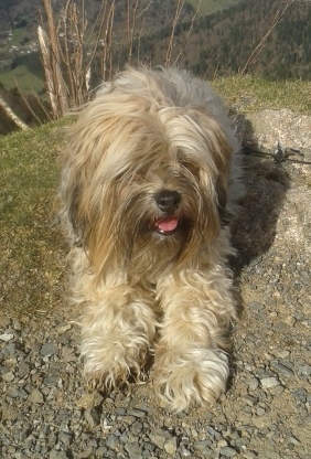 BUMO, Volé Terrier du Tibet Avignon 20150410