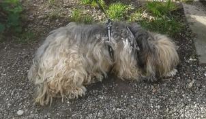BUMO, Volé Terrier du Tibet Avignon Yyoter10