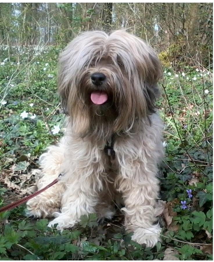 BUMO, Volé Terrier du Tibet Avignon Yyoter11