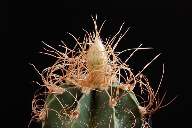 "Astrophytum capricorne ""crassispinoides"" 4610"