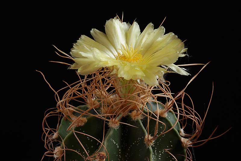 "Astrophytum capricorne ""crassispinoides"" 5210"