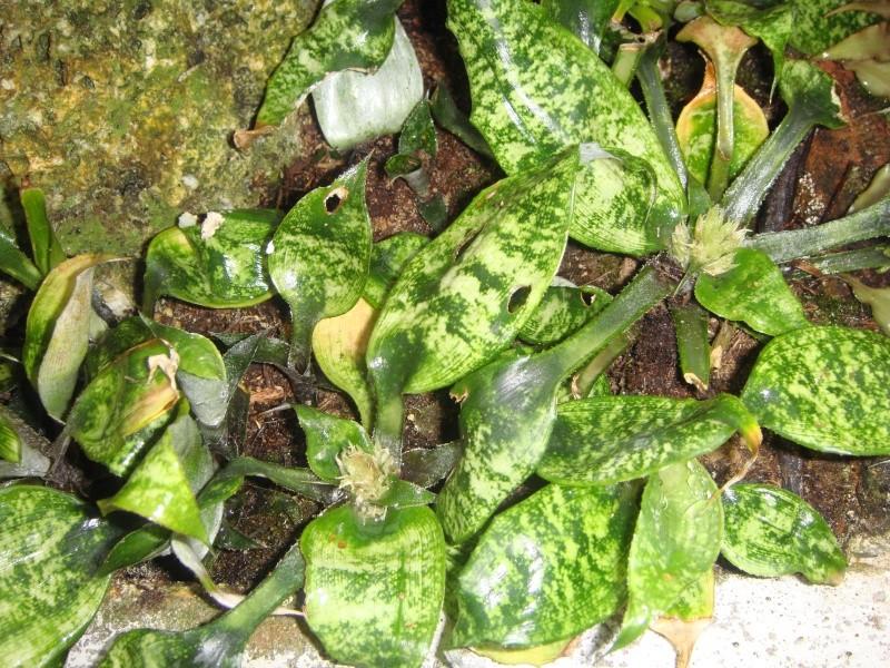 Quelques cryptanthus Crypta12