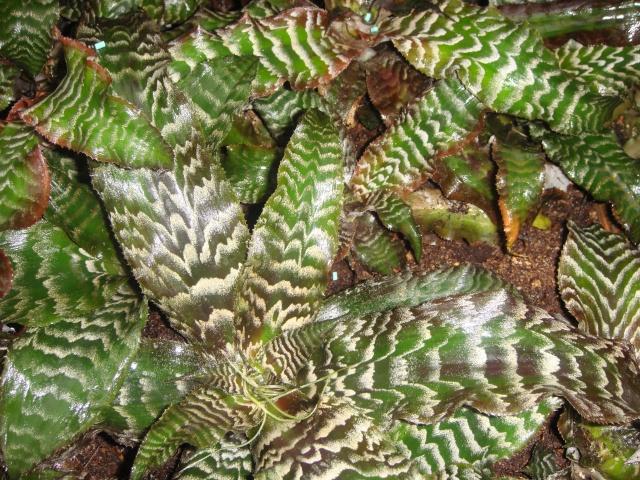 Quelques cryptanthus Crypta16
