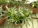 Chévreloup le 25 03 15 : Kipiks , euphorbias et succulentes 1ere partie  Carrua10