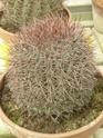 Chévreloup le 25 03 15 : Kipiks , euphorbias et succulentes 1ere partie  Denmoz10
