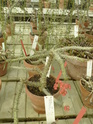 Chévreloup le 25 03 15 : Kipiks , euphorbias et succulentes  2eme partie  Euphor14