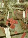 Chévreloup le 25 03 15 : Kipiks , euphorbias et succulentes  2eme partie  Euphor15
