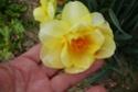 Pèle méle de bulbes printaniers  Narcis11