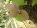 Première fleur de DALECHAMPIA  P1100211