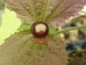 Première fleur de DALECHAMPIA  P1100212