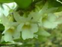 Angraecum christyanum P1100618
