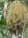 Floraison et fructification de CARYOTA mitis Palmier queue de poisson  P1100711
