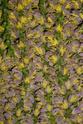 Floraison et fructification de CARYOTA mitis Palmier queue de poisson  P1100712