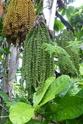 Floraison et fructification de CARYOTA mitis Palmier queue de poisson  P1100713