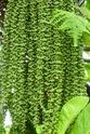 Floraison et fructification de CARYOTA mitis Palmier queue de poisson  P1100714