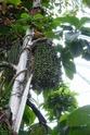 Floraison et fructification de CARYOTA mitis Palmier queue de poisson  P1100715