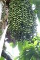 Floraison et fructification de CARYOTA mitis Palmier queue de poisson  P1100716