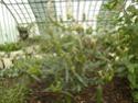 Photos d' Acanthaceae en fleurs actuellement  P1100717