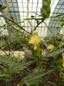 Photos d' Acanthaceae en fleurs actuellement  P1100718