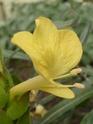 Photos d' Acanthaceae en fleurs actuellement  P1100719