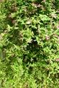 Jasminum beesianum P1100721