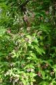 Jasminum beesianum P1100722