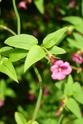Jasminum beesianum P1100723
