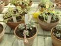 Chévreloup le 25 03 15 : Kipiks , euphorbias et succulentes  2eme partie  Pachyp13