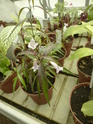 Chèvreloup le 25 03 15 : Quelques autres plantes  Strobi10