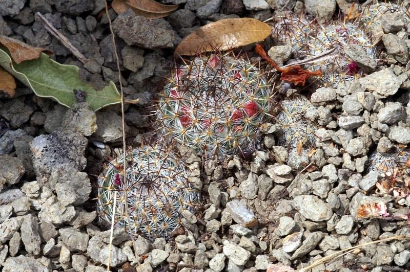 Mammillaria pseudohalbingeri n.n. 0640-p10