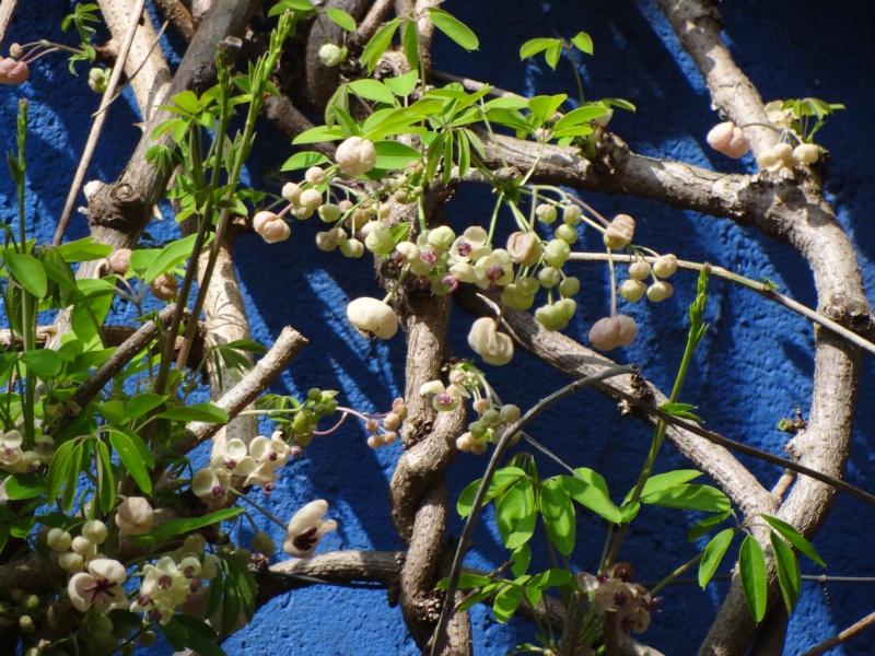 Lardizabalaceae grimpantes Dsc04010