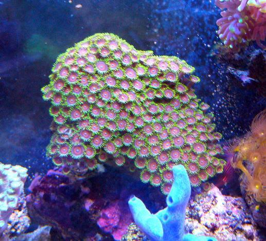Les coraux d'Alice Carroll Zoanth12