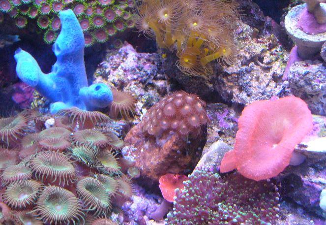 Les coraux d'Alice Carroll Zoanth13