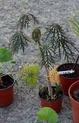 Une bougie à feuilles...[Jatropha multifida] Grasse10