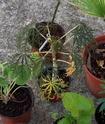 Une bougie à feuilles...[Jatropha multifida] Grasse11