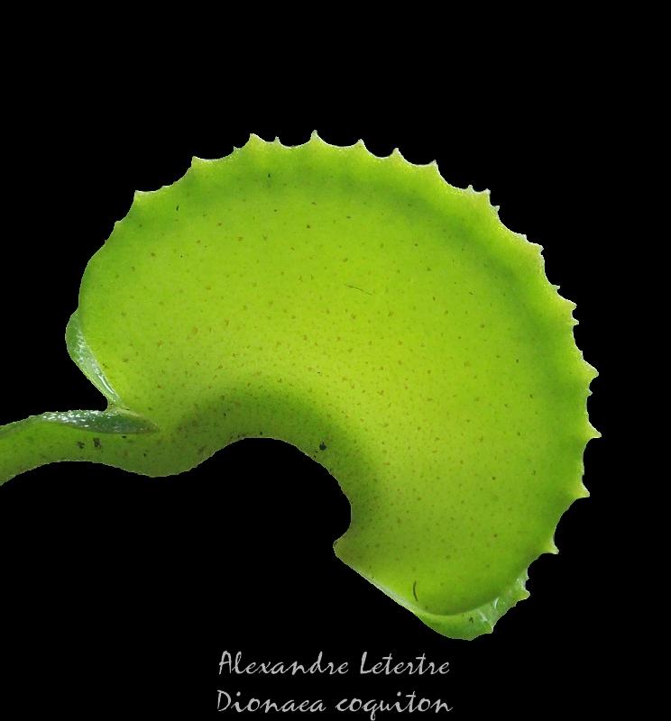 Dionaea 'coquiton' Img_3910