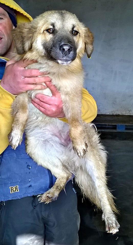 QUECHUA - chiot femelle, taille moyenne née en juillet 2014 (Pascani) - adoptée par Corinne (dpt 94) 10314710