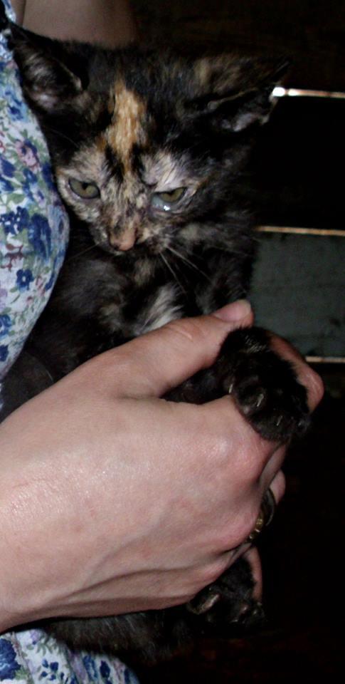MYSTIQUE (ex-ONDINE) - chatte femelle, née 2014 - (PASCANI) - adoptée par Emilie B. (dpt 69) 10510310