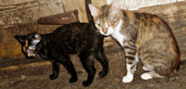DUCHESSE - chatte femelle, née 2011/2012, borgne - (PASCANI) - adoptée par Chantal Pascal (dpt 63) 10627810