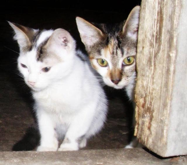 NOUKY (ex KREATURE) - chat mâle, né en 2014 - (PASCANI) - pris en charge par une autre association 10660812