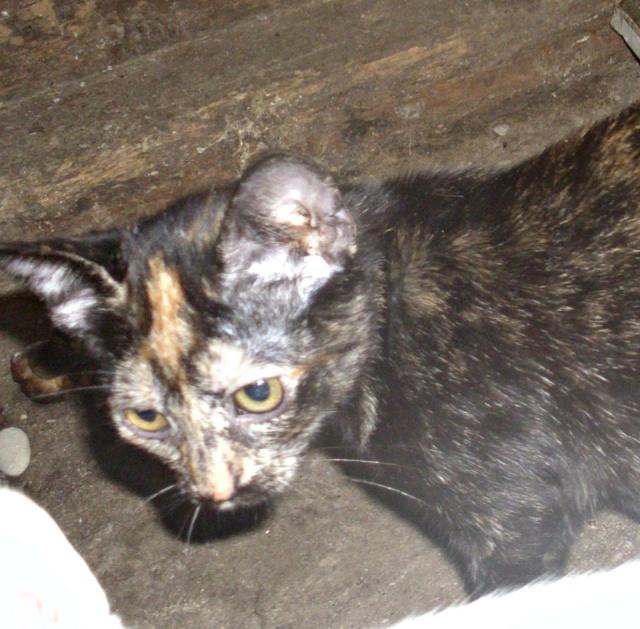 MYSTIQUE (ex-ONDINE) - chatte femelle, née 2014 - (PASCANI) - adoptée par Emilie B. (dpt 69) 10660912
