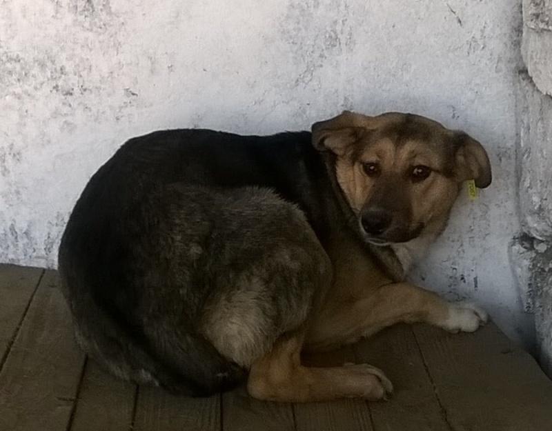 TAHITI - femelle, croisée de taille moyenne, née environ mars 2013 - adoptée par Isabelle (10) 11078110