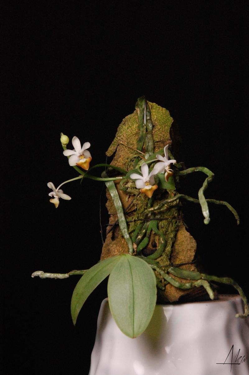 Phalaenopsis Sacha (parishii x malipoensis) Dsc_0813