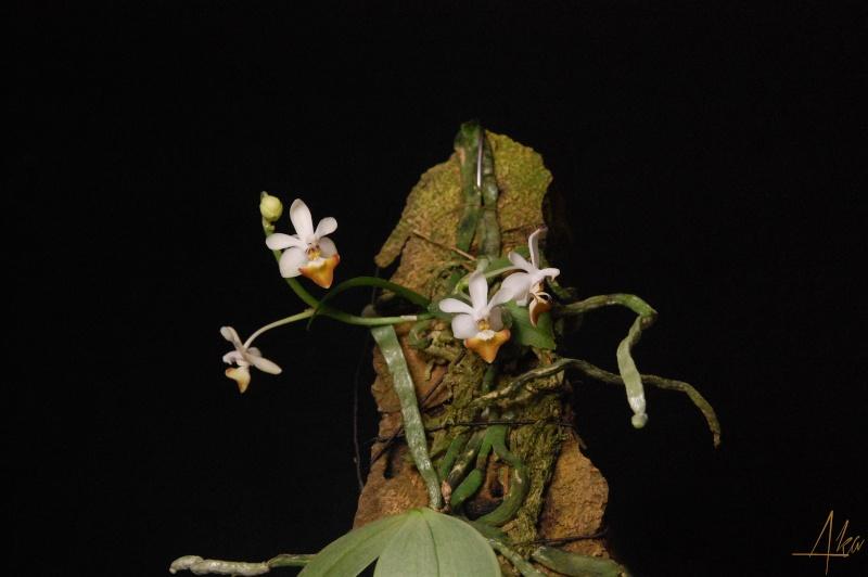 Phalaenopsis Sacha (parishii x malipoensis) Sacha210